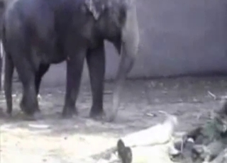 Elephants having amazing sex in doggy pose
