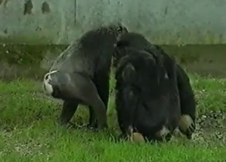 Wild monkeys have mad sex on the grass at the zoo